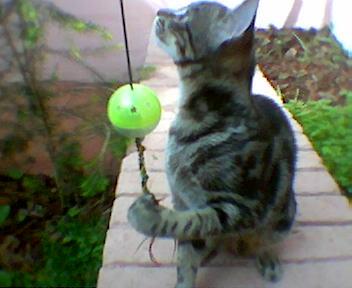 gato a brincar